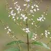 Farfalla - Verbena Grasse, Sel., 10 ml 10