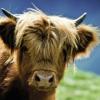 Heye puzzle 1000 db - Highland Cow