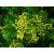 Rizsvirág illatolaj