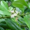 Babér illóolaj (Laurus nobilis) - 10 ml