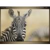 Balkys Trade Nyomtatott kép Zebra tekintete 1161A_1T