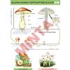 Comenius A kalapos gombák teste és élete
