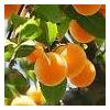 Farfalla - Apricot Kernel / Sárgabarack olaj 75 ml