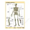 Stiefel Tanulói munkalap, A4,Az emberi csontváz (VTM20)